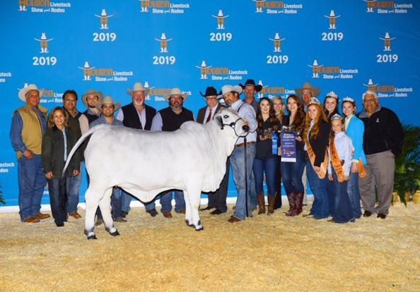 LMC LF Polled Spirit, many times champion full sister for Mia to Lots 4 and 12.