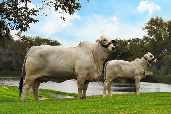 """> The Heritage """"911"""" cow is one of """"Double Take's"""" notable offspring. She was the 2009 National Champion female."""