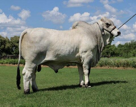 Paternal brother - LMC ECC Polled X Factor - semen available