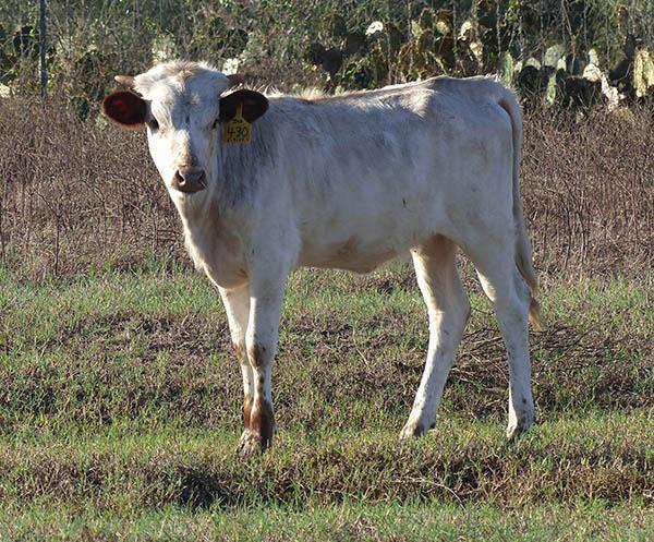 430's Heifer Calf